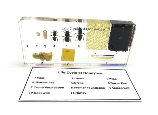 honeybee specimens