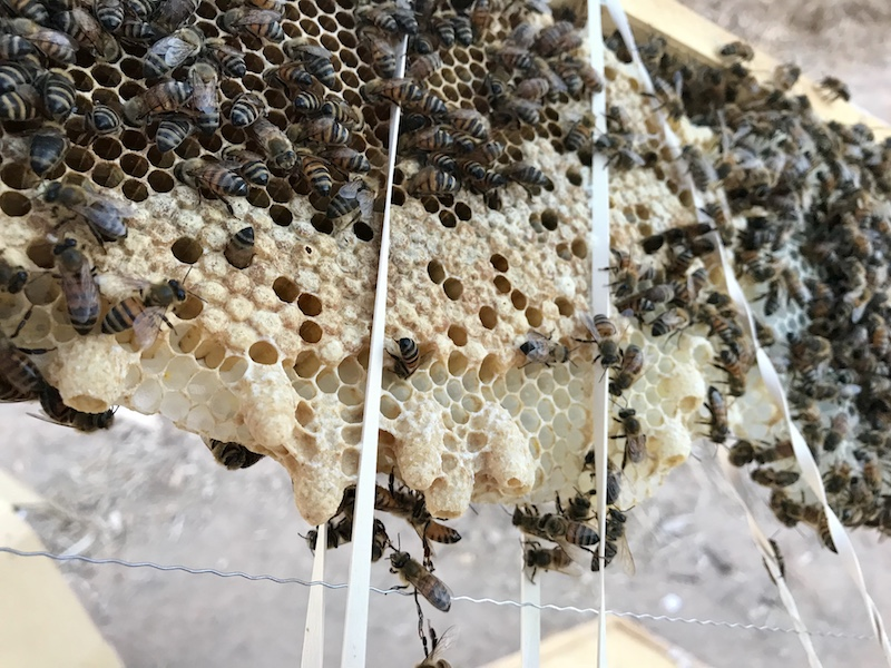 Requeening a Rescue Hive