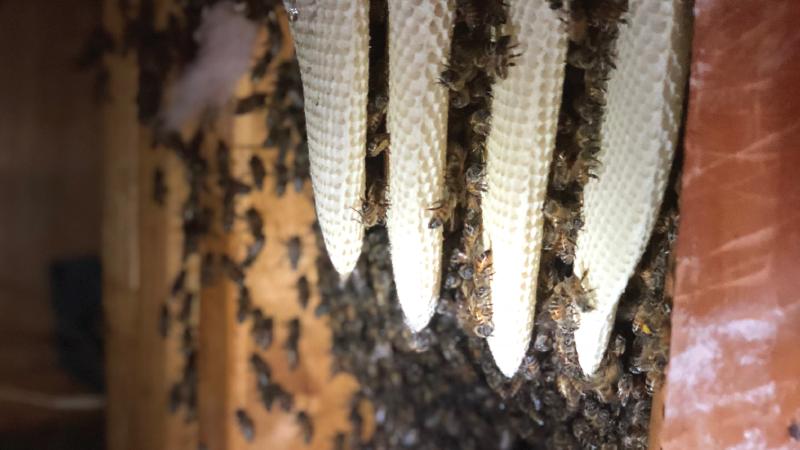 hive relocation